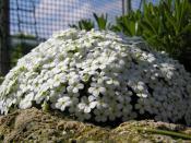 Androsace cylindrica x hirtella seedling